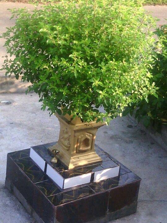 जानिए हिंदू धर्म का सबसे पवित्र पौधा तुलसी कौन है, क्यों दिया भगवान विष्णु को तुलसी माता ने श्राप ।